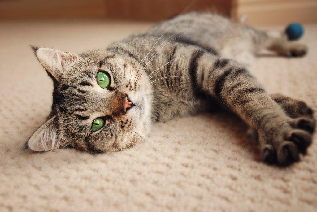 Awe Inspiring Caring For Your Senior Cat Feline Behavior Solutions Cat Short Hairstyles For Black Women Fulllsitofus