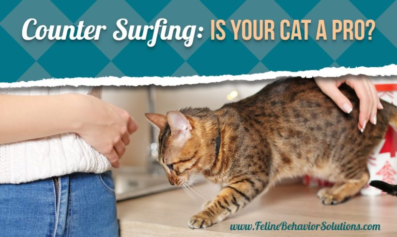Counter-Surfing Cats: Is Your Kitty a Professional?