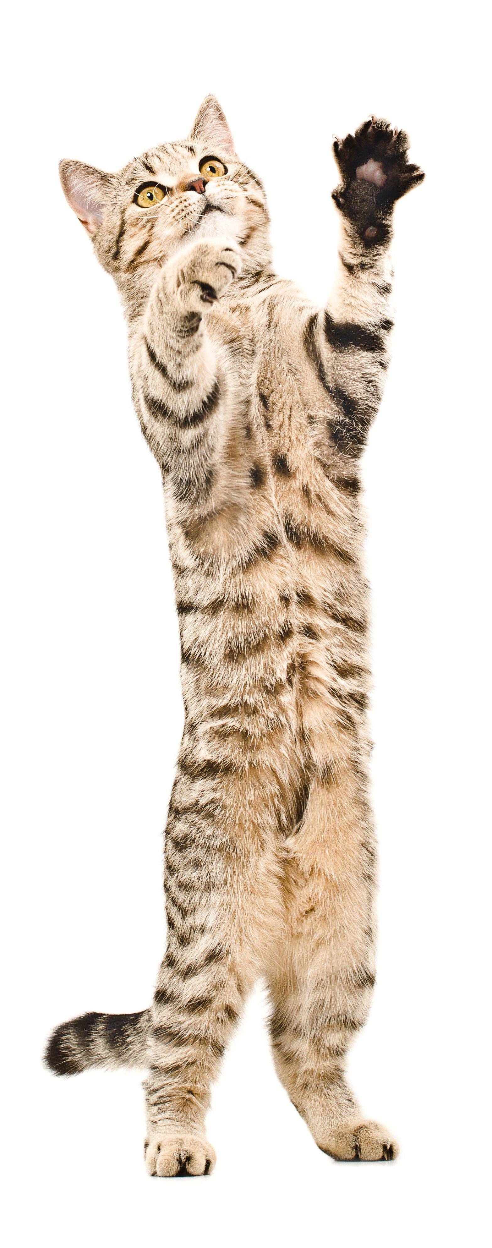 Cute playful kitten Scottish Straight